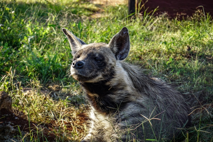 The Tameable Striped Hyena